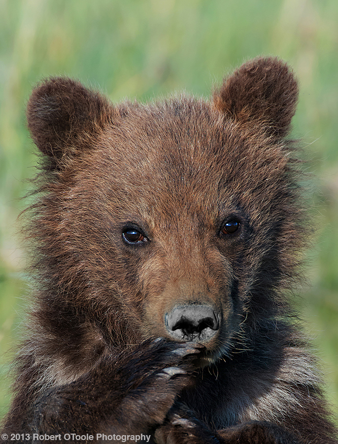 Dark-cub-portrait-Hallo-Bay-2013-Robert-OToole-Photography
