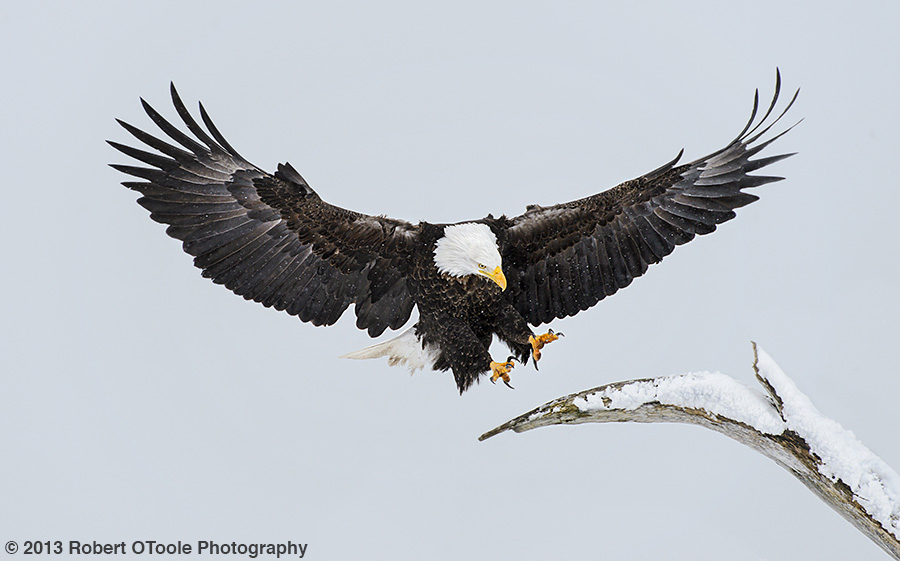 Eagle-landing-in-snow-2013-Robert-OToole-Photography