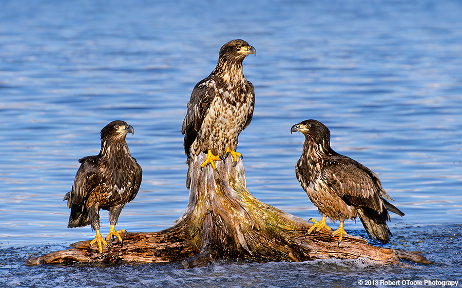 Three-Eagles-perched-2013-Robert-OToole-Photography