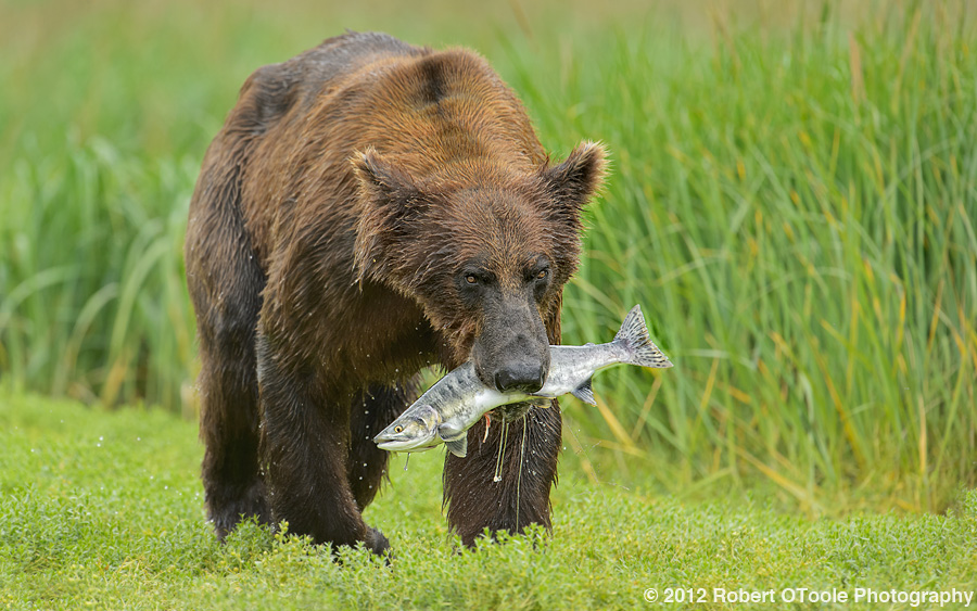 Brown-bear-with-pink-salmon-Geographic-Alaska-Robert-OToole-Photography