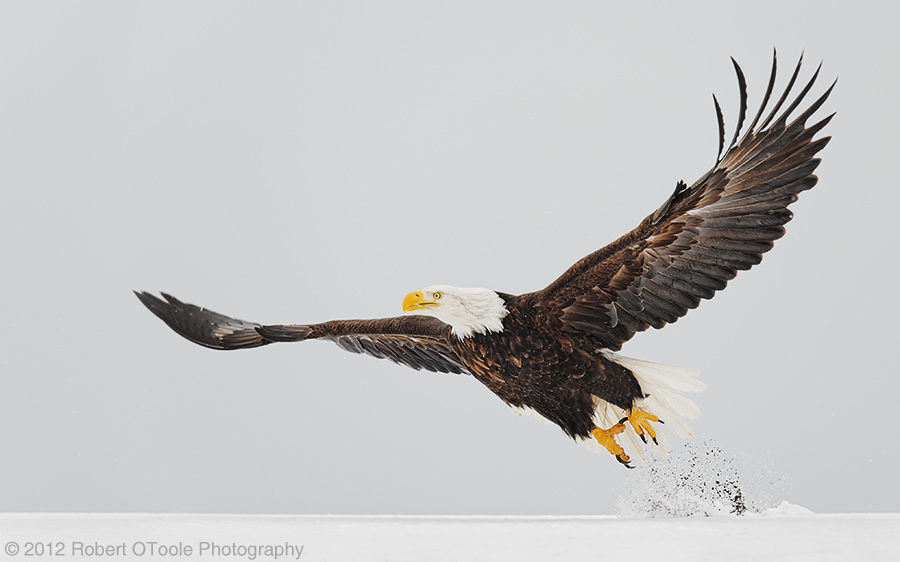 bald-eagle-landing-wings-taking-off-outstretched-robert-otoole-photography