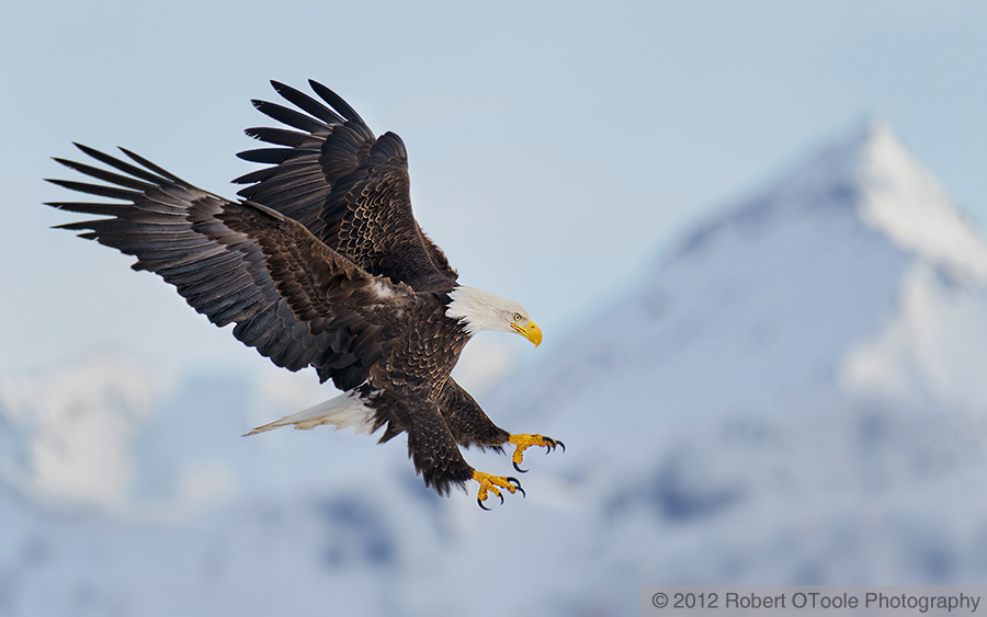 bald-eagle-landing-wings-landing-against-mountain-robert-otoole-photography