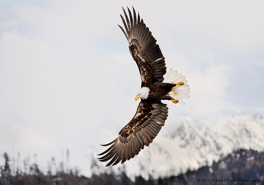 Eagle-banking-with-mountains-Alaska-Robert-OToole-Photography