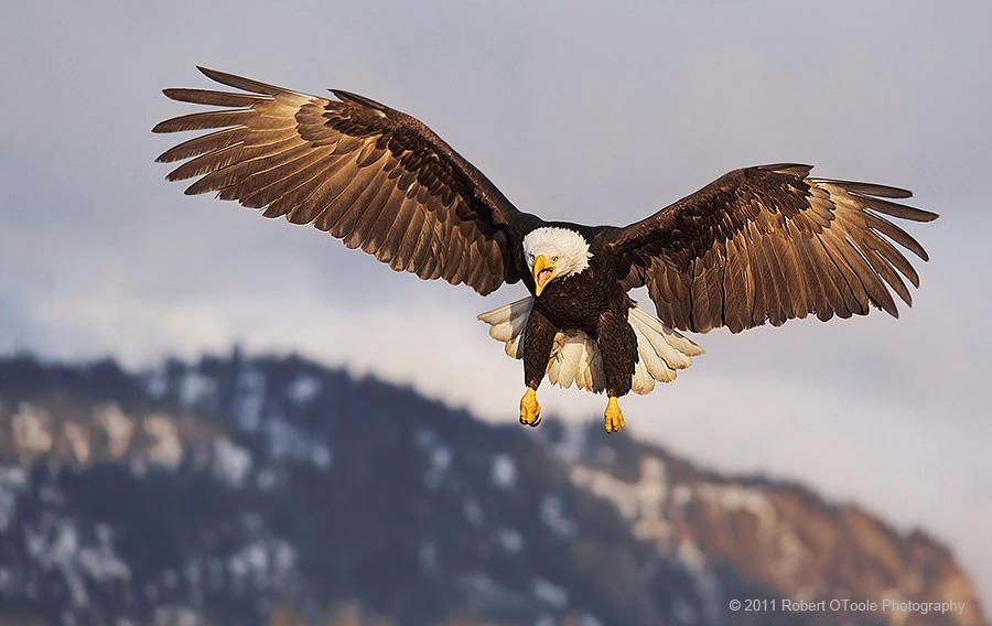 Eagle-stalling-calling-Alaska-Robert-OToole-Photography