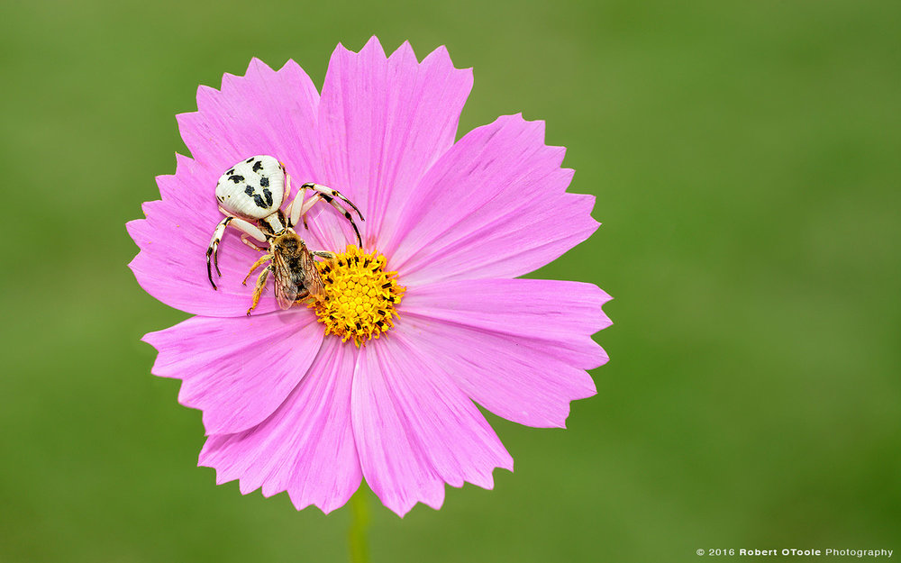 Crab-spider—with-prey-on-pink-cosmos-Robert-OToole-Photography