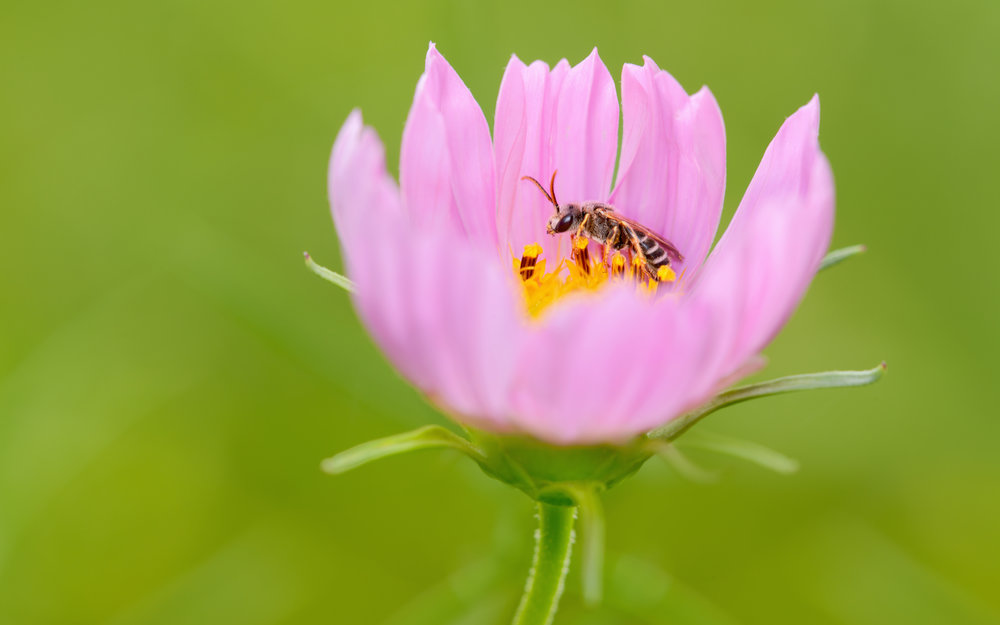 native-bee-resting-on-pink-cosmos-Robert-OToole-Photography