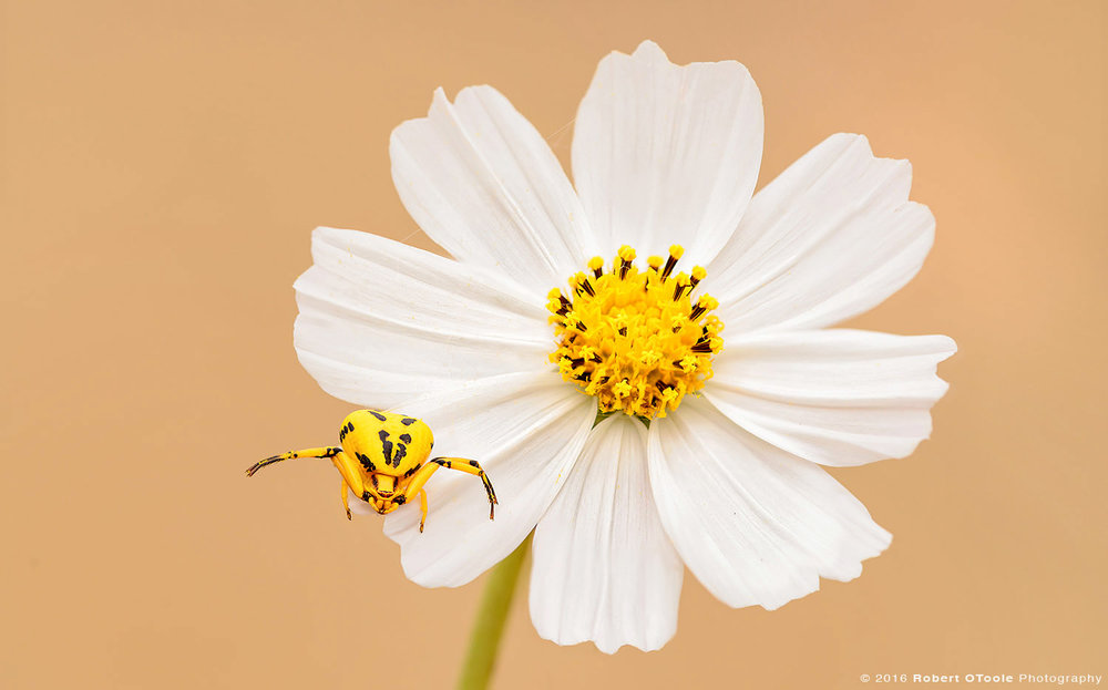 yellow-crab-spider-on-white-cosmos-Robert-OToole-Photography