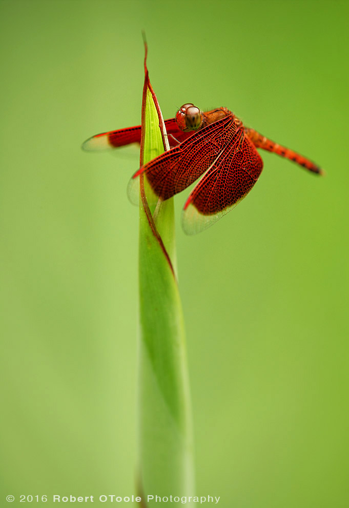 Common Parasol Dragonfly on Iris