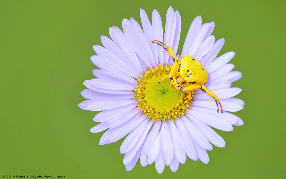 Yellow Crab Spider on Purple Seaside Daisy
