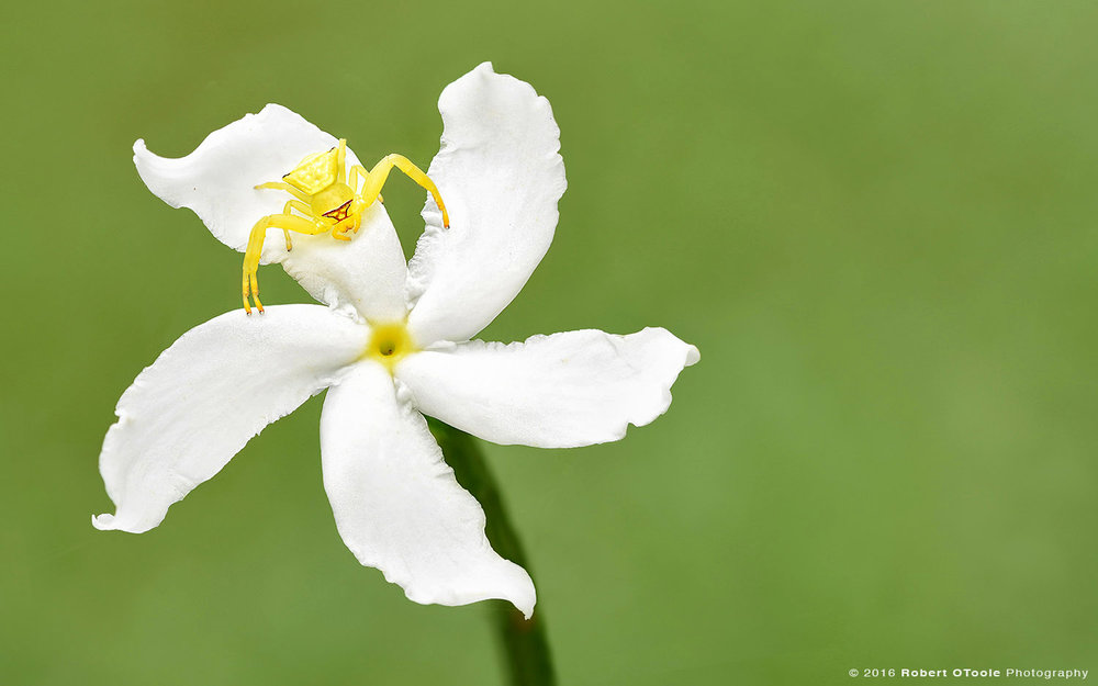 Yellow Crab Spider Waiting for Prey on White Jasmine Flower