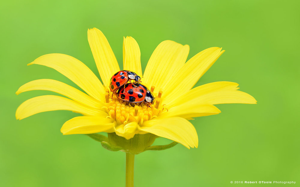 Mating Ladybugs on Yellow Flower