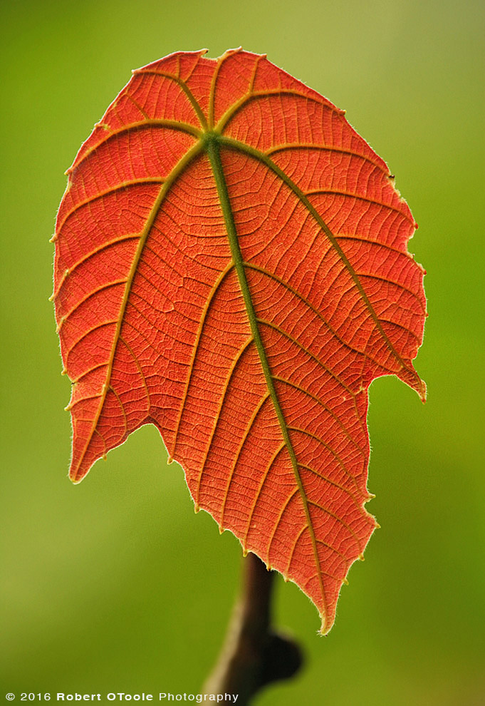 Backlit Red Leaf in Asia