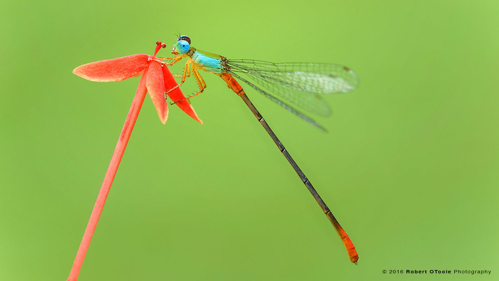 Bicolor Damselfly on Red Flower