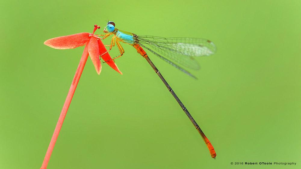Bicolor-Damselfly-Ceriagrion-cerinorubellum-on-red-flower-Robert-OToole-Photography