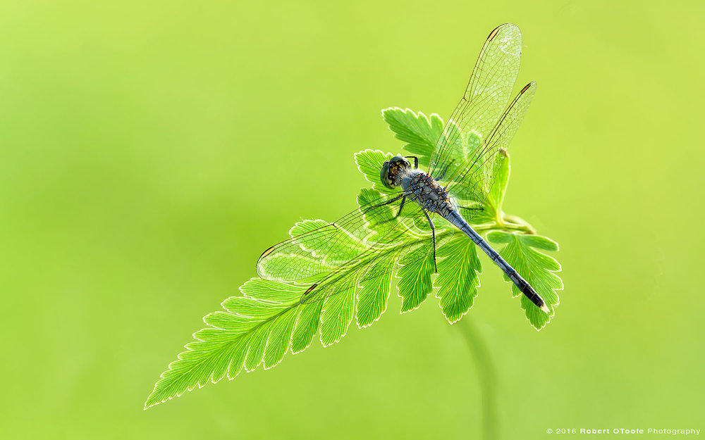 Common Parasol Dragonfly on Fern