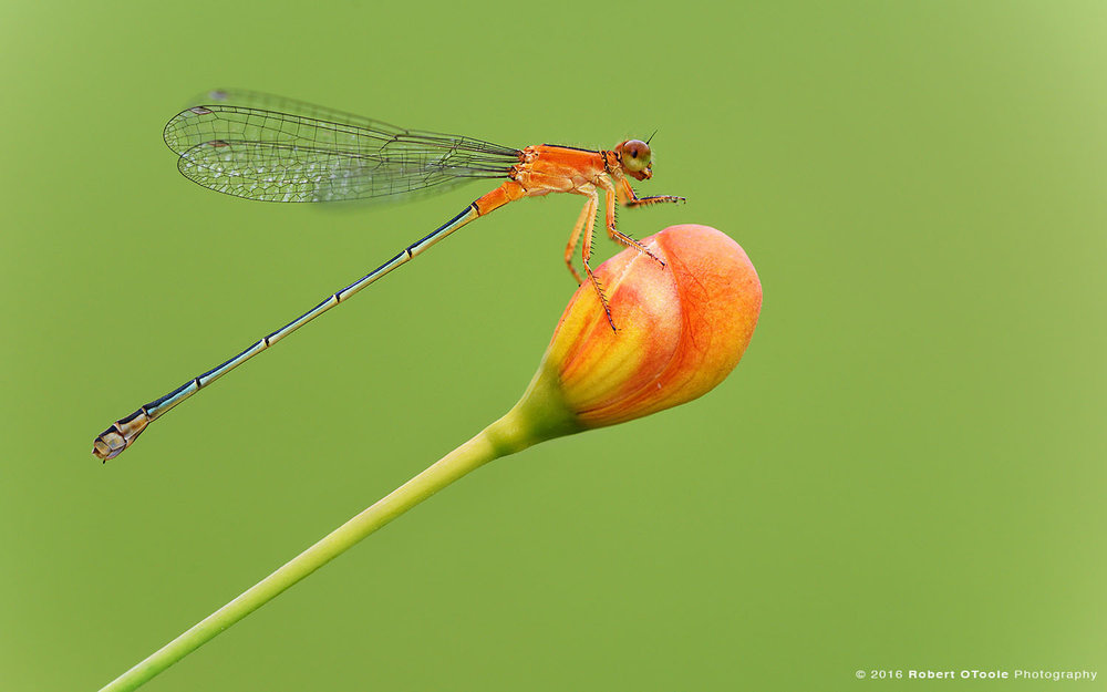 Golden Dartlet Damselfly Female on Flower Bud