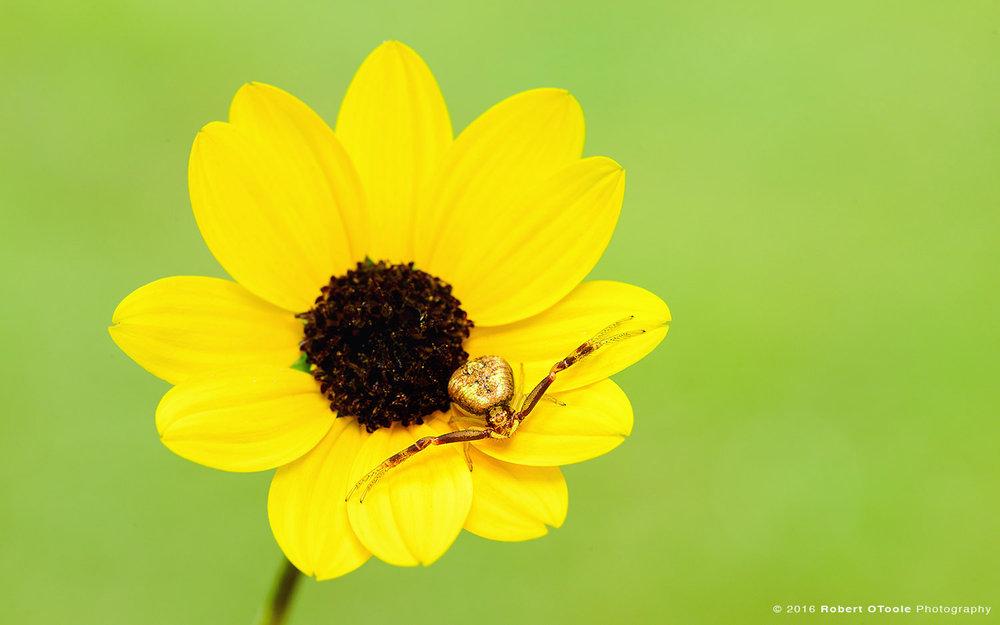 yellow-crab-spider-on-sunflower-Robert-OToole-Photography