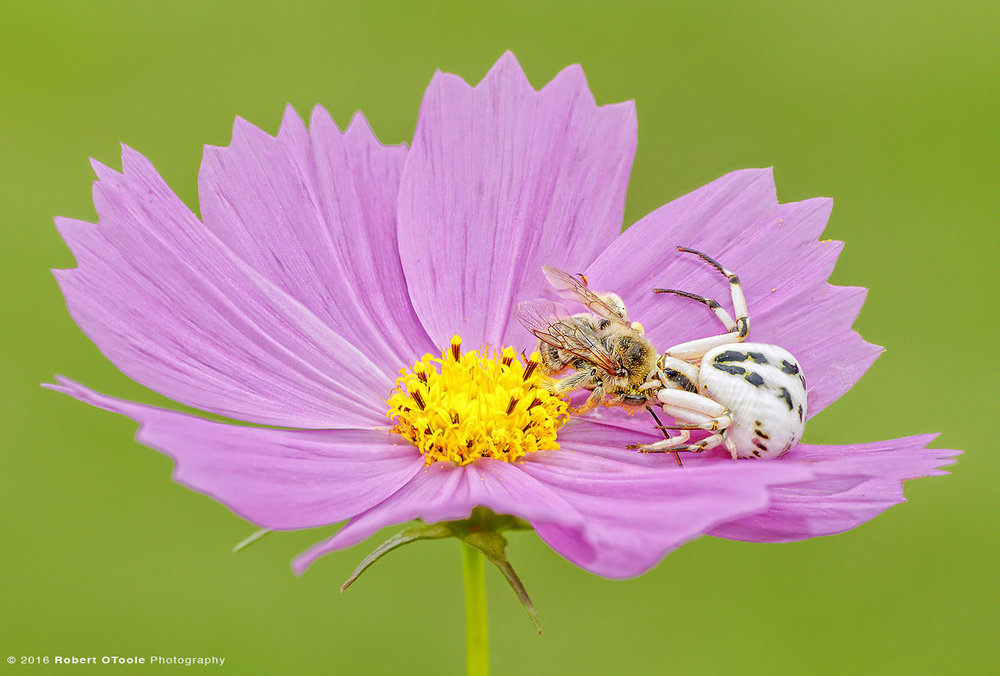 White Crab Spider with Honey Bee Prey