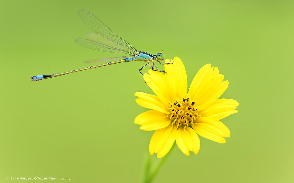 Golden Dartlet Damselfly Male Resting on Yellow Cosmos Flower in Asia