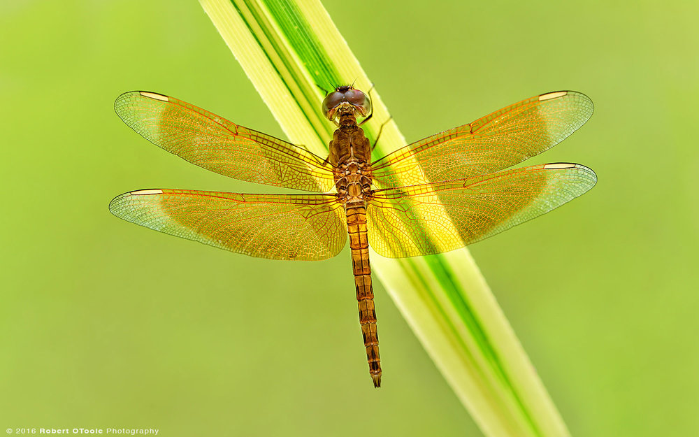 Common-Parasol-dragonfly-Neurothemis-fluctuans-resting-on-leaf-Robert-OToole-Photography