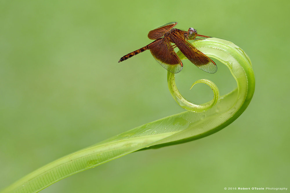 Common-Parasol-dragonfly-Neurothemis-fluctuans-landed-on-curled -up-leaf-Robert-OToole-Photography
