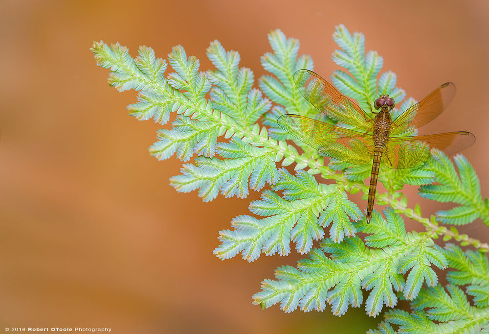 Common-Parasol-Dragonfly-Neurothemis-fluctuans-resting-on-peacock-fern-Robert-OToole-Photography