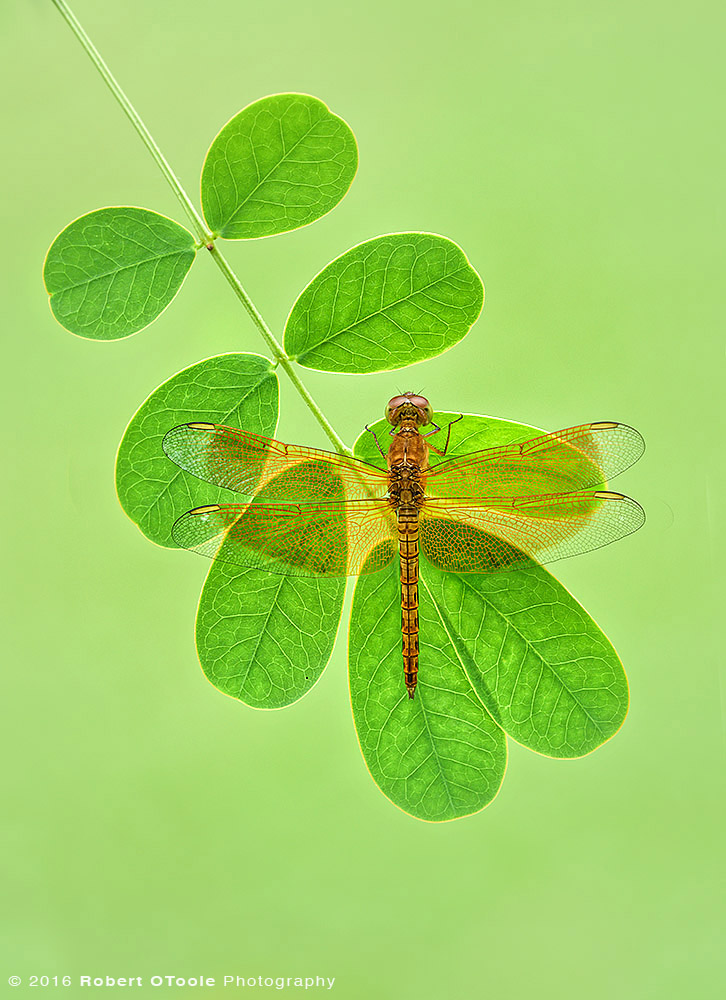 Common-Parasol-dragonfly-Neurothemis-fluctuans-resting-in-the-morning-Robert-OToole-Photography