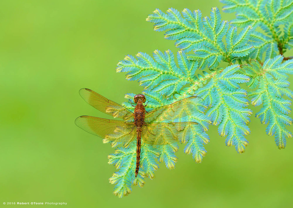 Common-Parasol-dragonfly-Neurothemis-fluctuans-on-peacock-fern-Robert-OToole-Photography