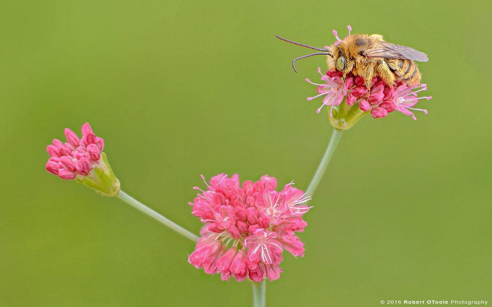 long-horn-bee-on -california-buckwheat-Robert-OToole-Photography