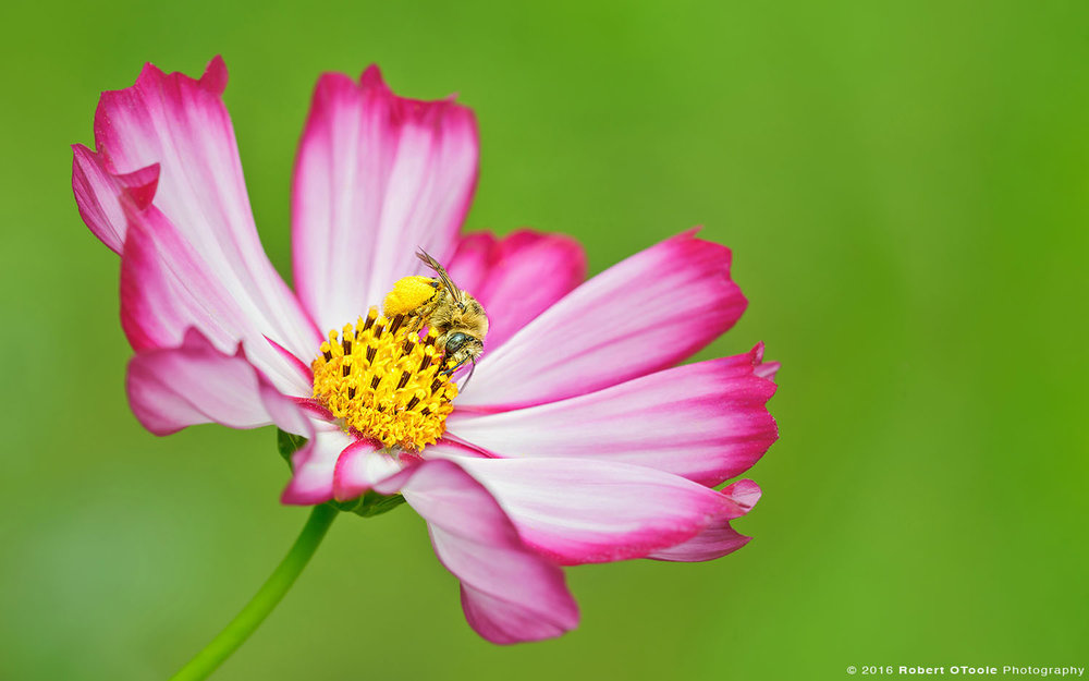 Native Bee on Bicolor Pink Cosmos Flower