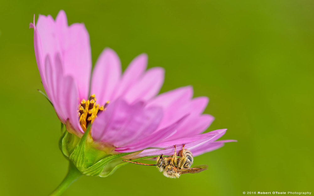 Long Horn Bee Overnighting under Pink Cosmos Flower