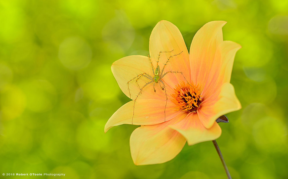 Green Lynx Spider on Orange Dahlia