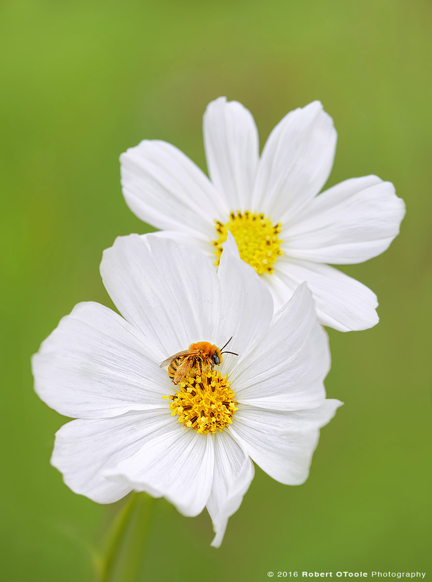 Long Horn Bee on White Cosmos Flower