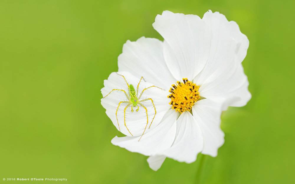 Green Lynx Spider on White Cosmos Flower
