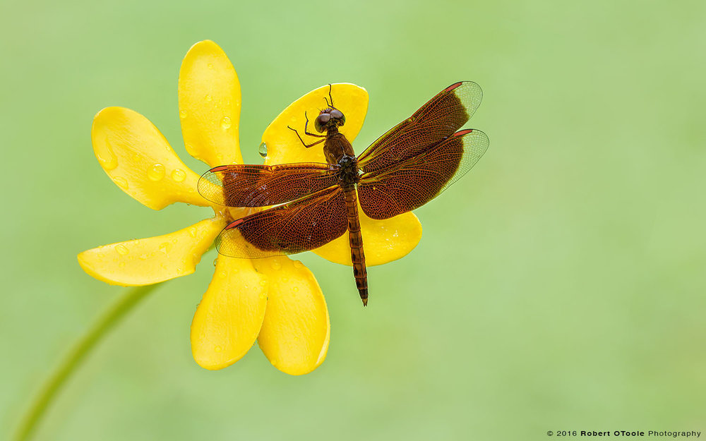 Common-Parasol-dragonfly-Neurothemis-fluctuans-on-yellow-flower-Robert-OToole-Photography