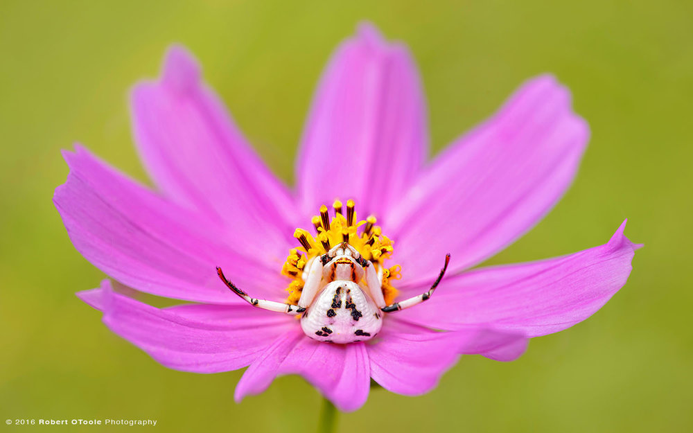 White Spider Crab on Pink Cosmos