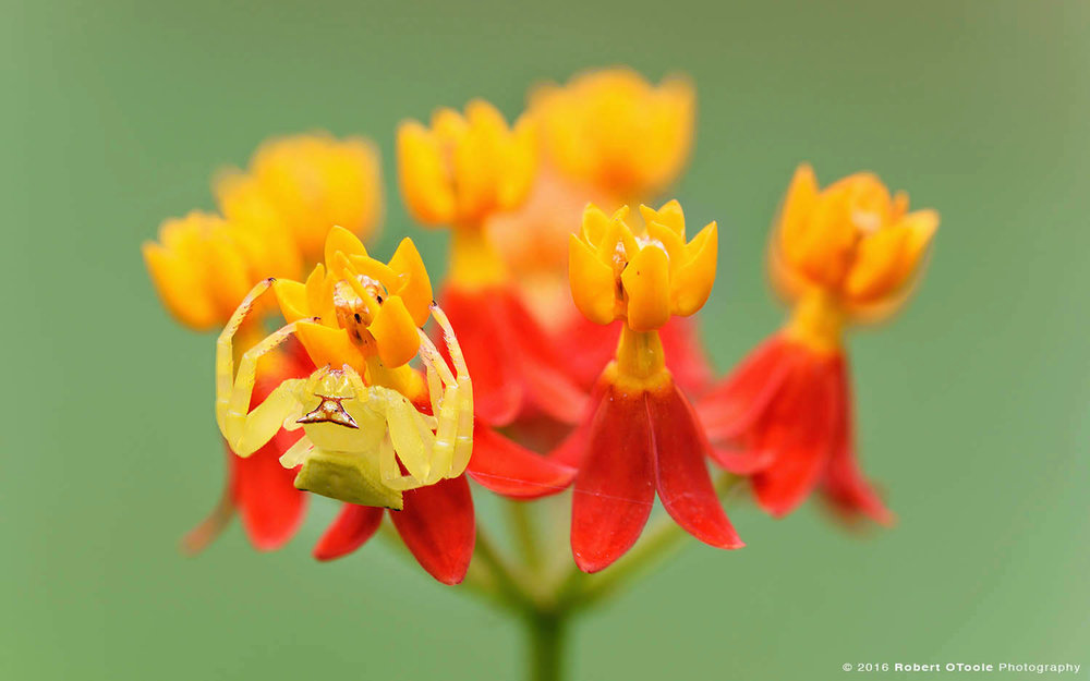 yellow-crab-spider-lighing-in-wait-for-prey-Robert-OToole-Photography