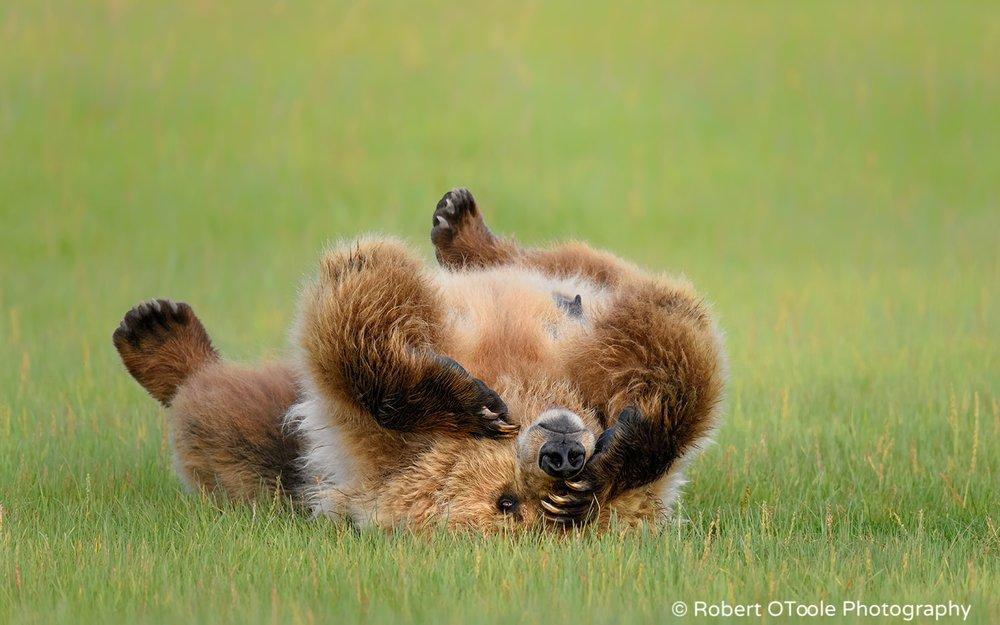 Brown Bear Upside-down with One Eye Open in Alaska