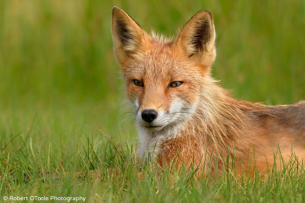 Red-fox-relaxing-in-green-grass-Alaska-Robert-OToole-Photography