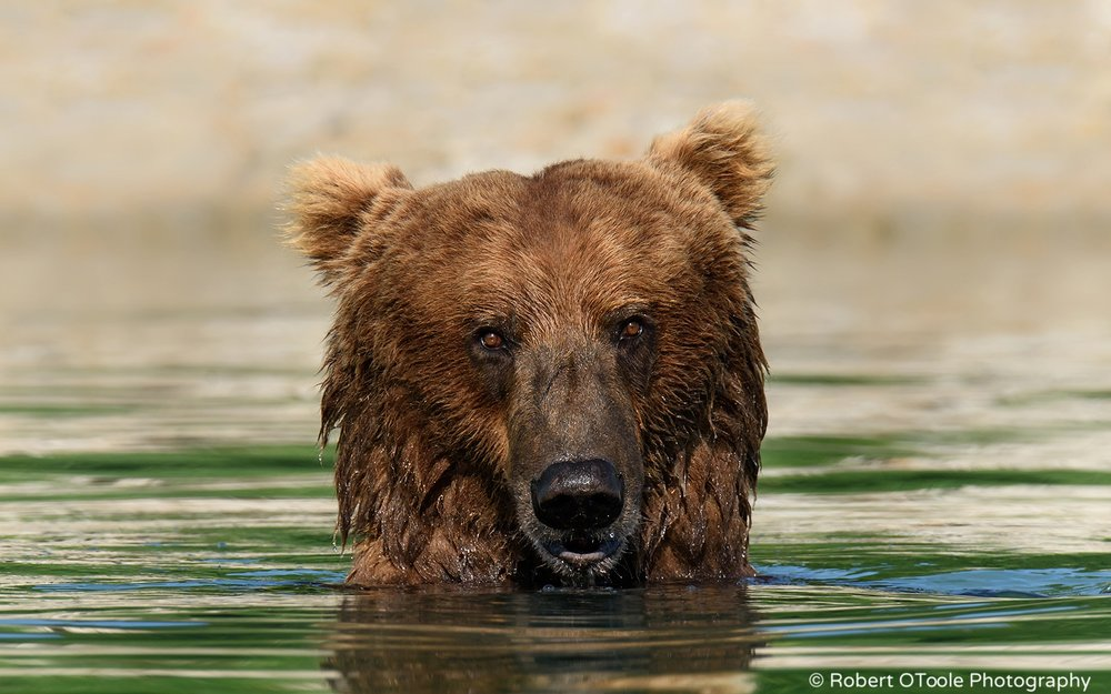 Brown-bear-in-water-staring-at-the-camera-Alaska-Robert-OToole-Photography