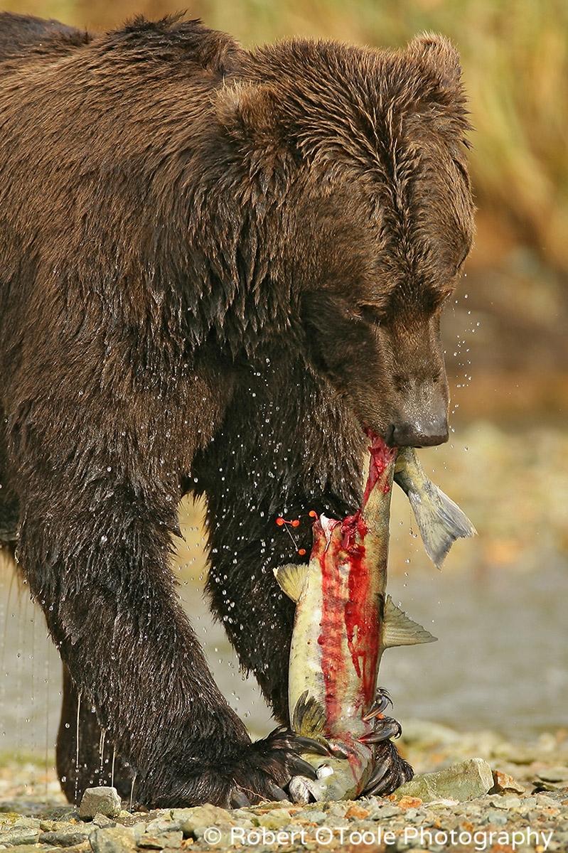Brown-bear-eating-salmon-Robert-OToole-Photography
