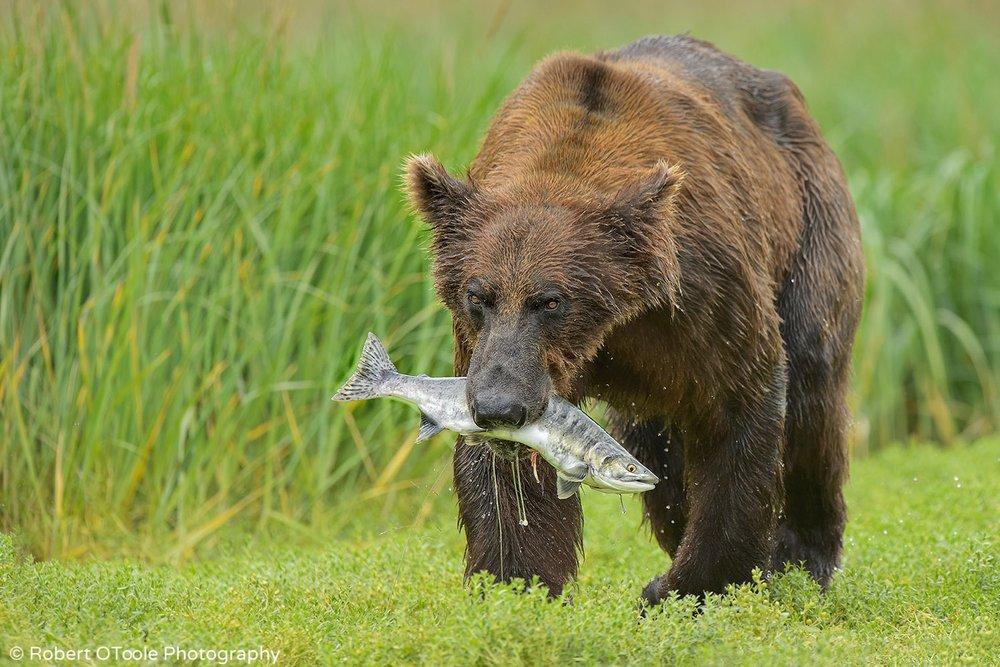 Brown-bear-with-pink-salmon-Alaska-Robert-OToole-Photography