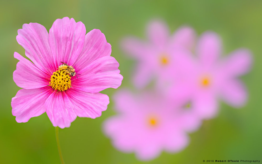native-bee-on-pink-cosmos-Robert-OToole-Photography