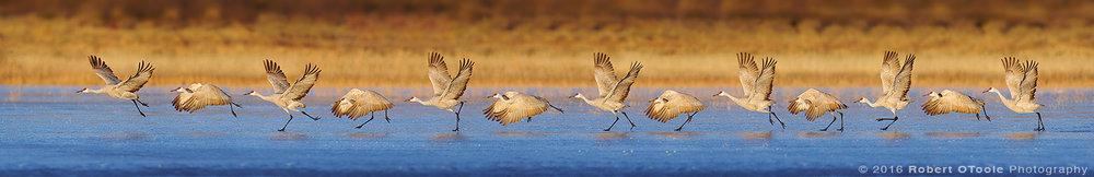 Sandhill-crane-thirteen-shot-sequence-Robert-OToole-Photography