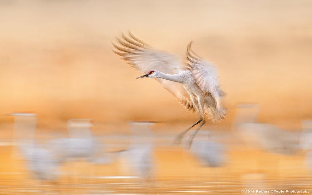 Sandhill-crane-1-20th-second-speed-blur-Robert-OToole-Photography