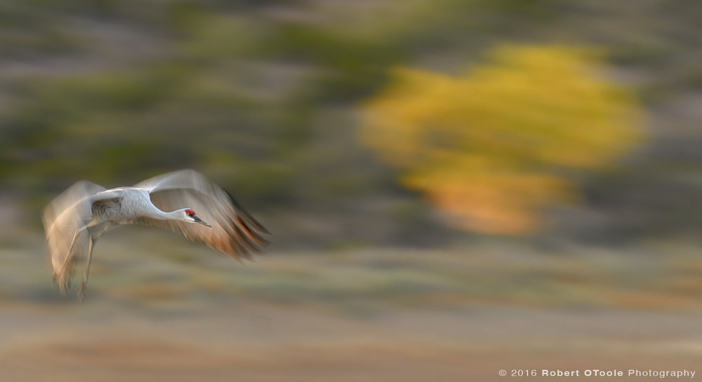 Sandhill-crane-and-cottonwood-Bosque-New-Mexico-2016-Robert-OToole-Photography