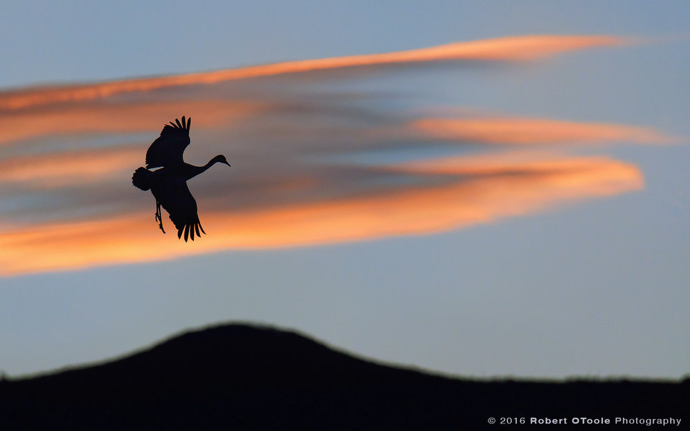 Sandhill Crane Drop at Sunset