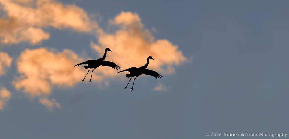 Silhouettes of Sandhill Cranes  in Sunset Color Clouds