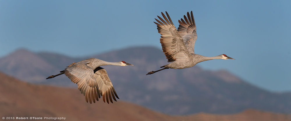 Pair of Sandhill Cranes Flying over Chupadera Mountains