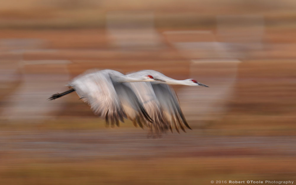 Sandhill Cranes Flying  at 1/25th s